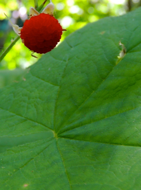 Once had a client get lost on the trail and survived solely on thimbleberries.